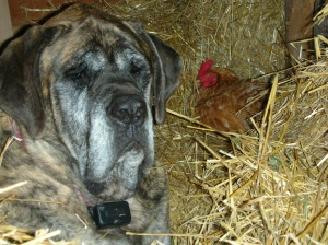 Mastiff vs Chicken
