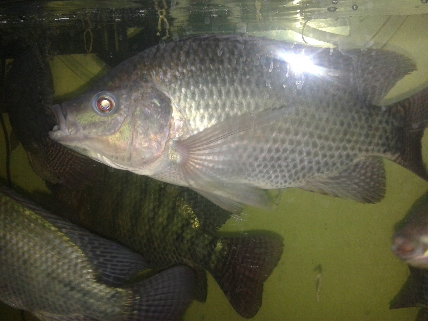 Best laid plans our venture into aquaponics save green for What is tilapia fish