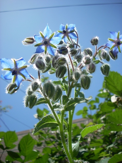 Blue_borage_flowers_2526205868_6b35bbac29_b