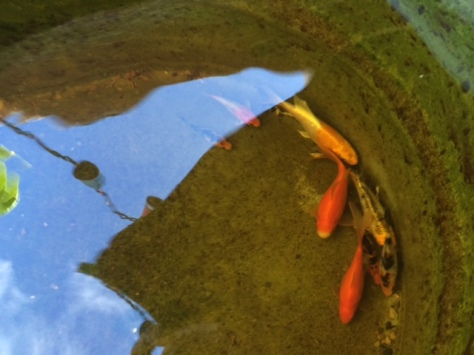 Koi in Aquaponics Tank