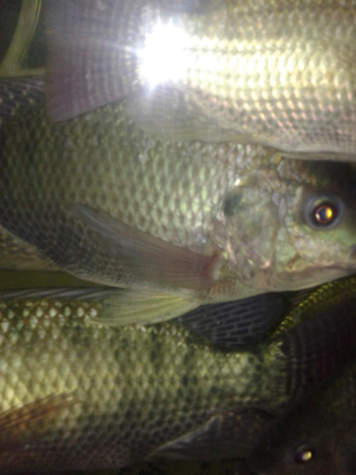 Aquaponics breeding tilapia save green going green for Tilapia aquaponics
