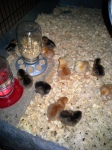 16 new chicks