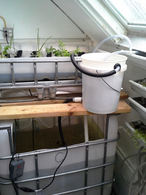 Aquaponics growth 003