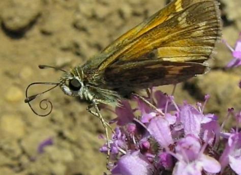 Butterflies like them too.