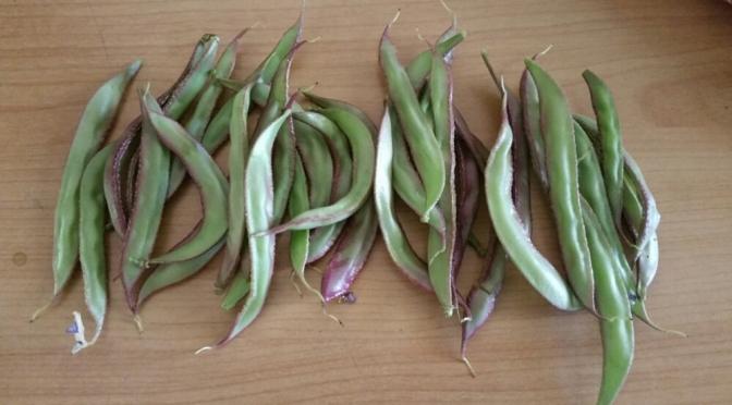 Aquaponics – First harvest of Amara (Payar) Beans
